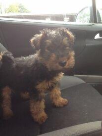 Welsh Terrier Puppies K..C Registered