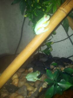 3 red eyed tree frogs and set up Seaton Charles Sturt Area Preview