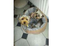 2 yorkshire terriers / yorkie