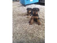 Welsh Terrier Puppies for sale K.c Reg