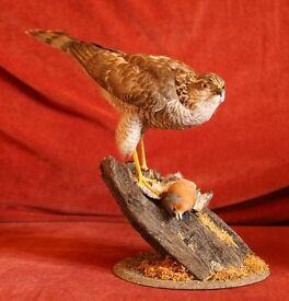 Taxidermy - female Sparrowhawk on Chaffinch