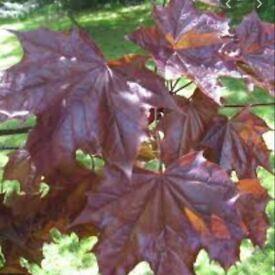 2-3 year purple maple seedling FREE