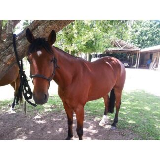 Free lease gelding  Prospect Vale Meander Valley Preview