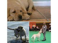 Stunning Kc reg Labrador puppies