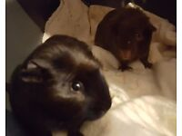 Guinea pig baby brothers ready now *Reserved*