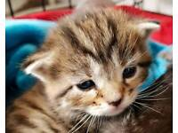 OUTSTANDING GIRL KITTEN LEFT WAS MINE BUT HAVE TOO SAY NO NOW