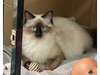 Ragdoll kittens NOT BORN YET!!