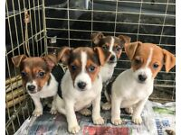 Stunning tri colour jack Russell puppies