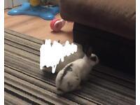 12 week old female rabbit