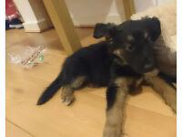 Shollie Puppy