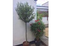 Olive trees (large)