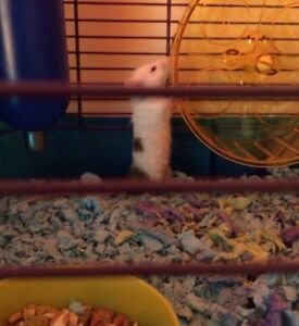 2 bonded fancy mice - everything included