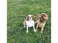 King Charles cavalier for rehoming