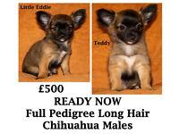 2 FULL PEDIGREE LONG HAIR CHIHUAHUA MALE PUPPIES