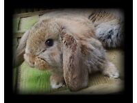 2 DOES FRENCH LOP BABY RABBITS FOR SALE