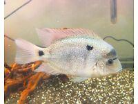 2 Vieja Cichlids and a Jack Dempsey Fish London Based Seller