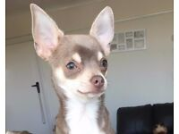 RARE Lilac/Fawn Chihuahua boy needs 1st class home