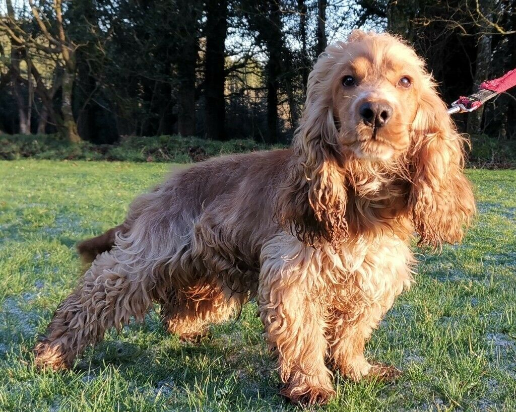 Cocker Spaniel One Year Old Golden Male Possibly Sold Will Update On Saturday In Exeter Devon Gumtree