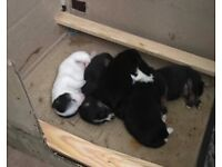 5 Jack Russell x chihuahua puppies for sale