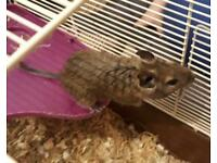 Degus and cage