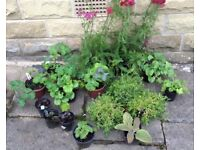 Collection Perennial Plants x 17. Garden ready.