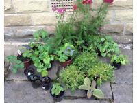 Collection Perennial Plants x 17. Garden ready.