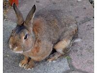 3 rabbits/ Netherland Dwarfs and Mini Lop