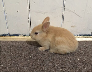 2 netherland Dwarf  babies left ! Pedigrees available !