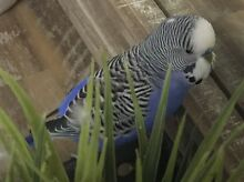 LOST pet budgie 'Buddy' Marcoola Maroochydore Area Preview