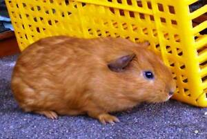 Still Available Sweet & Happy Bonded Boy Guinea Pigs Mount Barker Mount Barker Area Preview