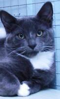 """Adult Male Cat - Domestic Short Hair-gray: """"Lute"""""""