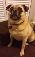 "Adult Male Dog - Pug-Beagle: ""Harley"""
