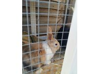 Baby Rabbits For Sales