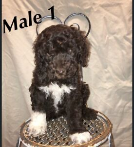 To Poodle Adopt Dogs Puppies Locally In Edmonton