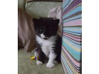 Beautiful female black & white kitten