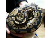 Royal ball python - normal
