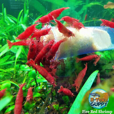 10+1 Fire Red - Freshwater Neocaridina Aquarium Shrimp. Live Guarantee