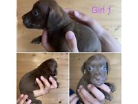 Chocolate patterdale terrier puppies