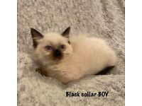 Pure ragdoll kittens for sale