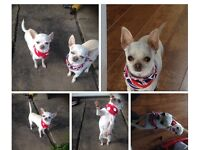 Teacup chihuahua brother and sister must stay together