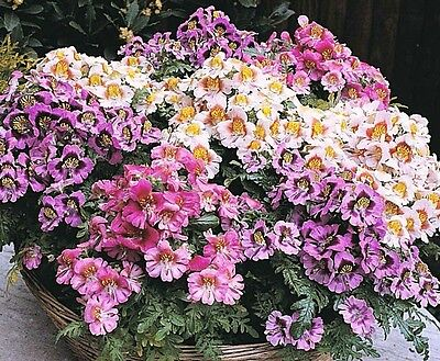 - Butterfly Orchid Seeds, Farm Mix, Poor Mans Orchid, Heirloom Flower Seeds, 75ct