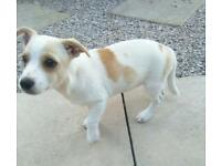 Jack Russell cross pomachihw