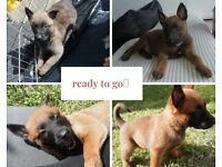 Puppies puppy dutch herder x malinois