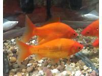 FREE goldfish