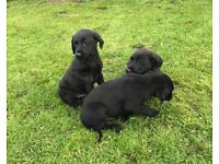 Black Labrador Male Pup KC Registered