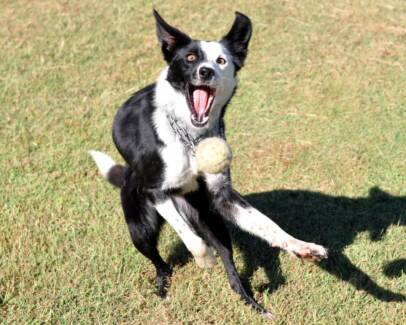 BORDER COLLIE ADULT Townsville Region Preview