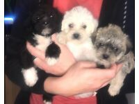 fluffy pugs toy pugapoo puppies toy poodle x pug