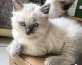 3 blue point ragdoll kittens