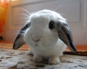 Wanted: Gentle fluffy or lop ear bunny