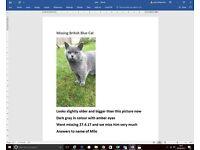 Missing British Blue Cat- REWARD